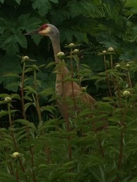 Sandhill Cranes in the peonies.