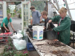 The peony program—Planting Peony in downtown Homer Businesses—Potting them for growing in greenhouse .