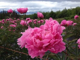 Who wouldn't love to work in these peony fields?